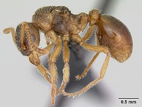Description de l'image Myrmica karavajevi casent0172766 profile 1.jpg.