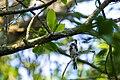 Myrtle warbler (41572037102).jpg
