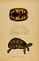 N78 Sowerby & Lear 1872 (psammobates geometricus).jpg