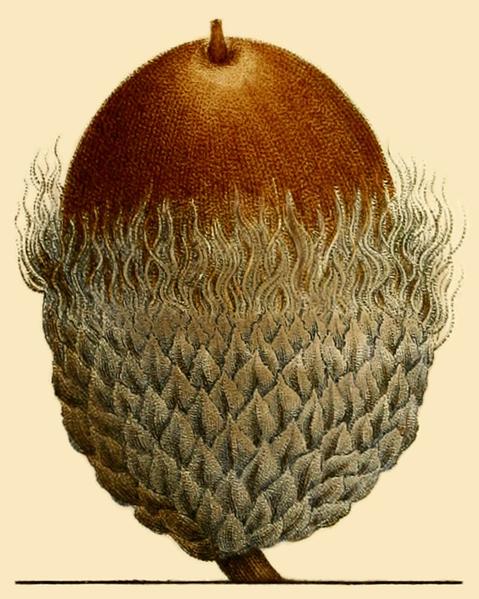 File:NAS-004f Quercus macrocarpa acorn.png