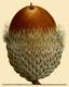 NAS-004f Quercus macrocarpa acorn.png