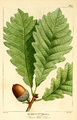 NAS-008f Quercus montana.png