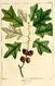 NAS-021f Quercus ilicifolia.png