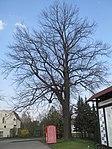 ND0104-1 Hosena QuercusRobur.jpg