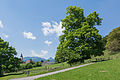 NDOÖ 144 Kirchenbauerlinde Viechtwang Scharnstein-3823.jpg