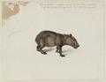 NL-HlmNHA 53004657 02 Capibara.tif