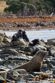 NZ280315 Kaikoura Fur Seal 05.jpg