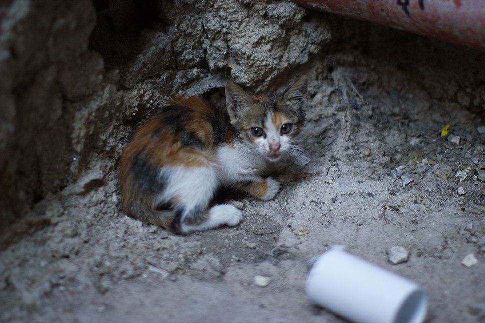 Nablus Street Kitten Victor 2011 -1-118