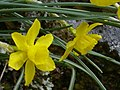 Narcissus rupicola Enfoque 2011-3-09 PtoNiefla SierraMadrona.jpg