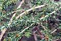 Nashia inaguensis 6zz.jpg