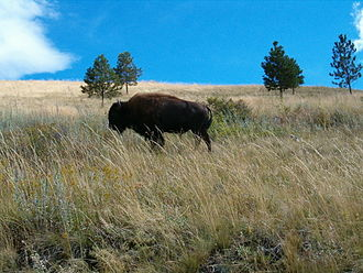 National Bison Range - A bison roaming at the National Bison Range