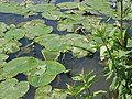 Native yellow waterlily (Nuphar lutea) - geograph.org.uk - 834281.jpg