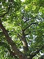 Naturdenkmal Stieleiche in Tulln 03.JPG