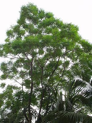 Azadirachta indica - Tree