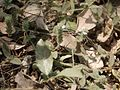 Nelsonia canescens (7052758817).jpg