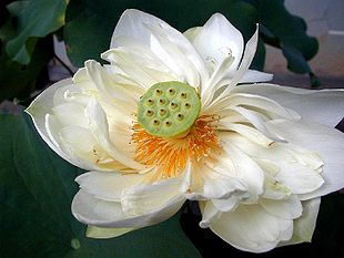 Lotus (Nelumbo nucifera)