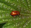 Neocrepidodera sp. - Flickr - S. Rae (1).jpg