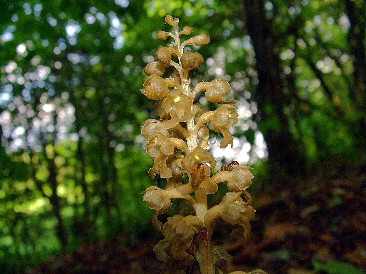 Neottia nidus avis wikipedia for Solo piante