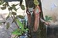 Nepenthes 'Miranda' (13).jpg