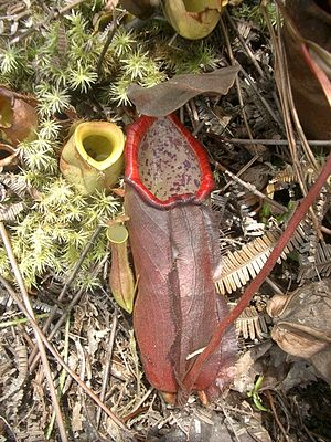 Nepenthes beccariana - A lower pitcher of N. cf. beccariana with sympatric N. ampullaria and N. gracilis