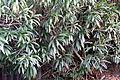 Nerium oleander 3 2014-03-26.jpg