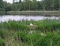 Nesting Swan, Warnham Nature Reserve - geograph.org.uk - 237821.jpg
