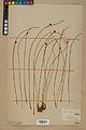 Neuchâtel Herbarium - Juncus jacquinii - NEU000044960.jpg