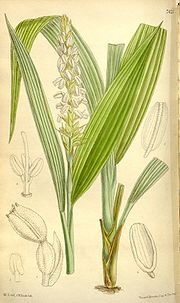 Neuwiedia griffithii, Illustration.