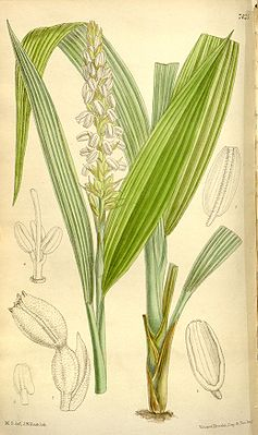 Neuwiedia griffithii, Illustration