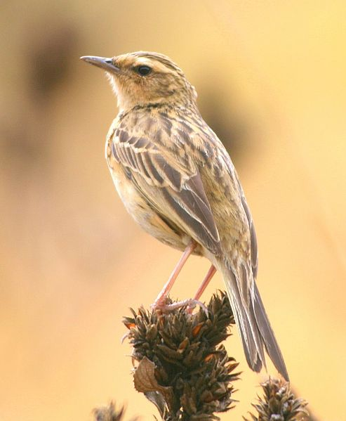 File:Nilgir Pipit (Anthus nilghiriensis) 18-Apr-2007 12-12-32 PM.JPG