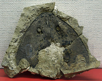Galeaspida - Headshield of Nochelaspis