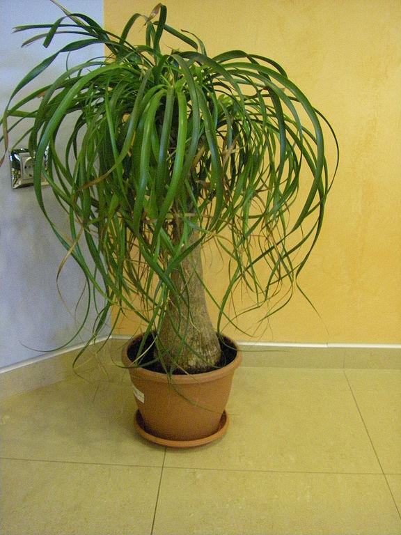 Пальма нолина уход в домашних условиях
