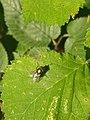Noordwijk - Groene vleesvlieg (Lucilia sp) v3.jpg