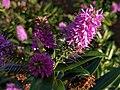 Noordwijk - Pink flower.jpg