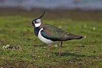 Northern-Lapwing-Vanellus-vanellus.jpg