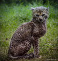 Northern Cheetah Cub (9730107252).jpg