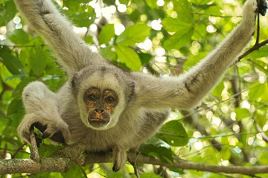 Woolly spider monkey sexual dimorphism