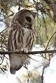 Northern Saw-whet Owl (31782227272).jpg