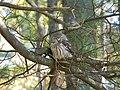 Northern Saw-whet Owl (8577632629).jpg