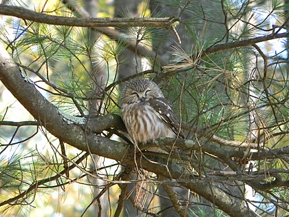 Northern Saw-whet Owl (8577632629).jpg