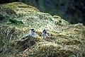 Northern fulmars nesting (5698823515).jpg