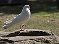 Not a rock dove (5752284016).jpg