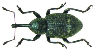 <i>Notaris acridulus</i> species of insect