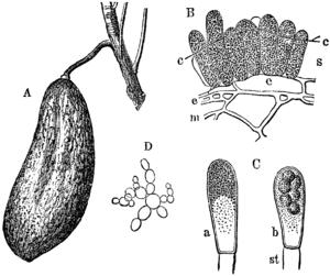 Taphrina - Taphrina pruni