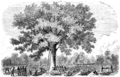 Nurse and spy in the Union Army - HOSPITAL TREE AT FAIR OAKS.png