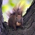 Nutty squirrel (27056498811).jpg