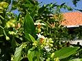 Nyctanthes arbor-tristis Laos 1.jpg