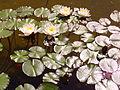 Nymphaea, rosaleda del parque del Oeste.jpg