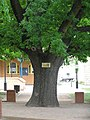 Oak Tree in Belmore Park, Goulburn, NSW.jpg