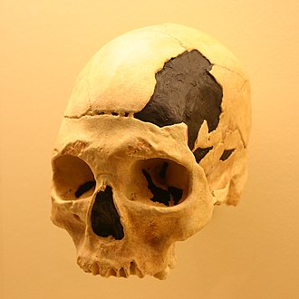 Interbreeding between archaic and modern humans - The modern human Oase 2 skull (cast depicted), found in Peştera cu Oase, displays archaic traits due to possible hybridization with Neanderthals.